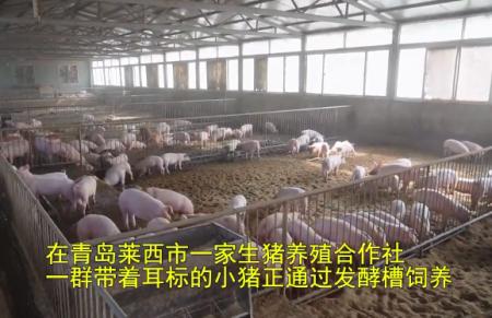 肉价太贵?自己养猪!青岛莱西一合作社推出生猪代养服务