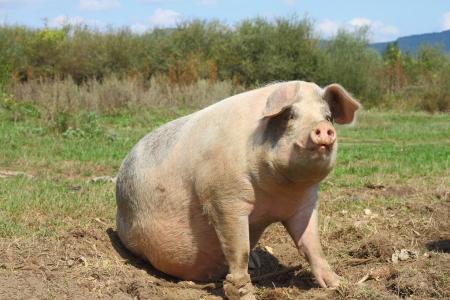 经产孕猪不明原因死亡,什么原因?