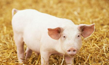 12月10日全国各省市仔猪价格报价表,云南仔猪报价低迷疫区解封影响还在