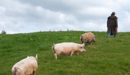 12月10日全国生猪价格外三元报价表,今日生猪价格上涨地区减至5个省市