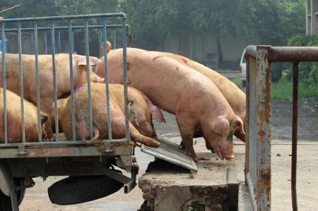 """防控猪场传染病,请从""""装猪台""""开始"""