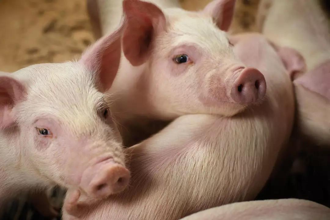 公猪的繁殖管理