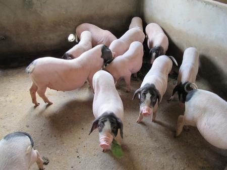 12月11日全国生猪价格土杂猪报价表,全国土杂猪呈现了一定的下跌!