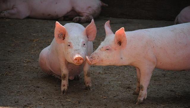 智能化检测方法在母猪发情鉴定中的应用
