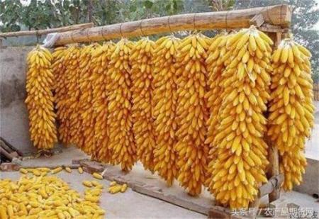 12月12日全国玉米价格行情表,部分地区玉米止跌回升!