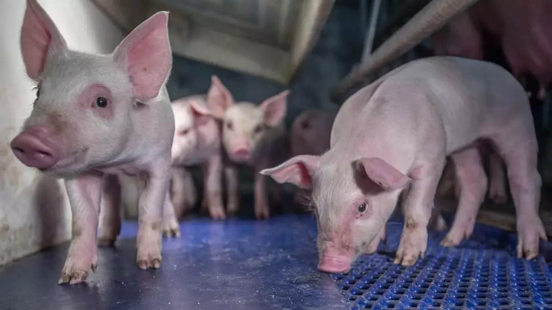 扩大生猪养殖产业,牧原股份拟与两央企基金合作开公司!
