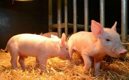 新生仔猪的护理细节,每一点都很重要!