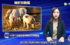 """12月11号生猪价格行情分析:猪价的未来走势,这""""两个因素""""很关键!"""