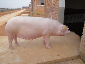 天冷了,不要忘记给母猪加料