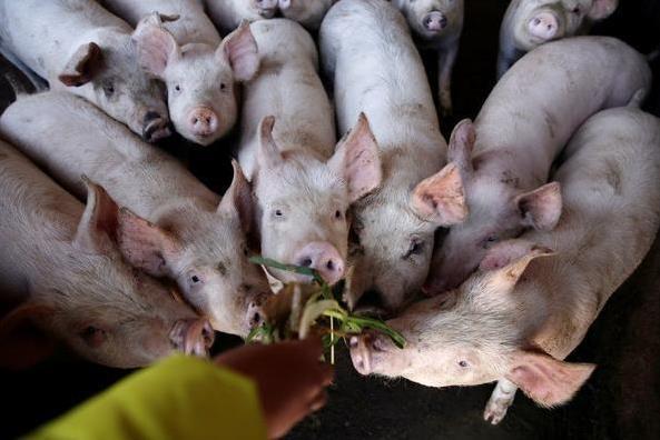 每天死千只!印尼爆发猪霍乱逾2万7000头猪暴毙腐败猪尸遭弃河川