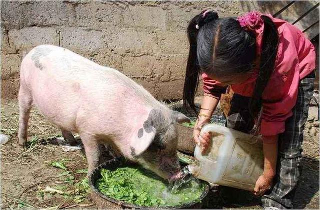 农村养猪,饲料要搭配使用,这是为什么呢?