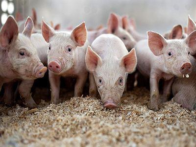 泰国严格管控猪肉的进出口