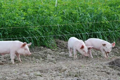 如何进行乳猪早期诱食?时间法、嘴中塞食法、甜食法以及味道法!