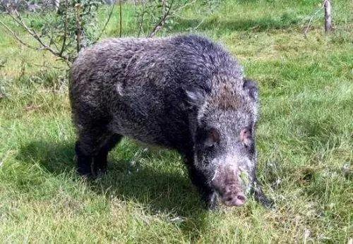 200多斤野猪窜入村庄伤及多人,福建仙游警方及时击毙