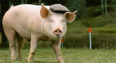 12月19日全国生猪价格土杂猪报价表,东北地区猪价回落,屠企压价导致猪价下跌!