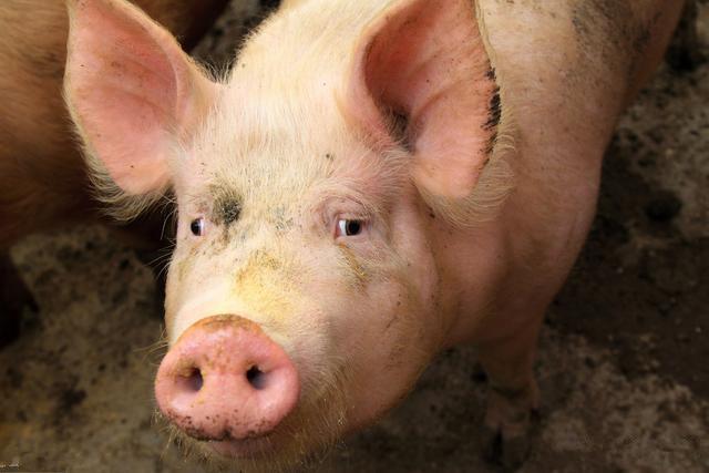 地方猪种:毕节黑猪新母系选育效果观察