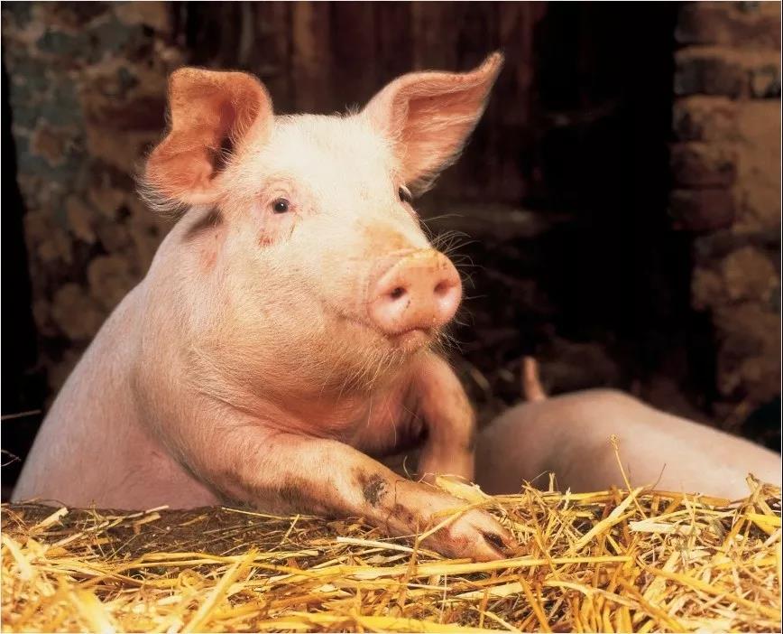 非瘟背景下的拜耳猪场繁殖管理方案