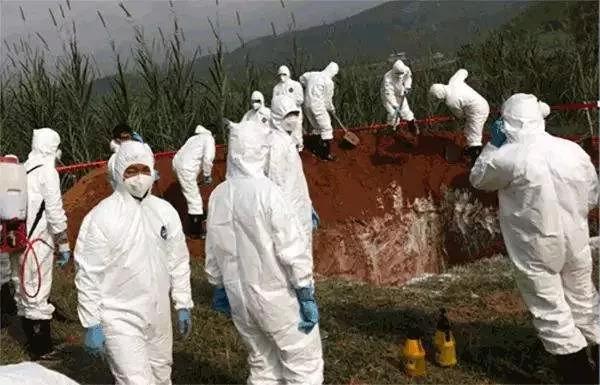 受非瘟影响,缅甸边境不少生猪死亡!目前生猪存栏量极少
