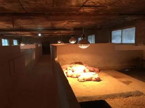 值得收藏,史上超全的冬季猪场保温方法!