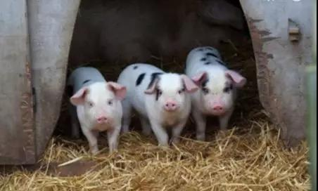 海口出台措施争取明年末生猪出栏超60万头!