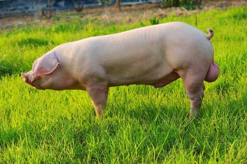 遗传改良:扬翔华系三元杂商品猪肉质性能的比较研究