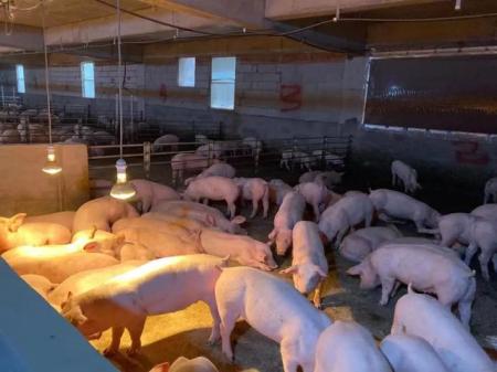 猪舍里有保温灯和地暖