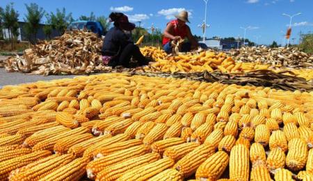 """玉米市场或提前进入""""假日模式"""""""