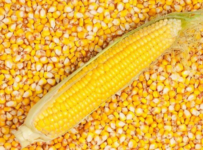 买卖双方博弈继续,春节前玉米价格维持稳定