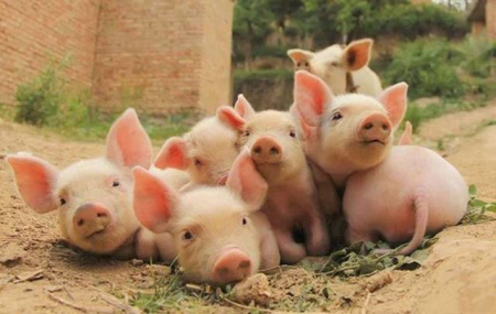 """""""空栏""""4个月后,121头种猪送来""""新生""""""""80后""""夫妻重燃养猪创业梦"""