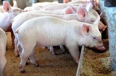 实用!用这4种方法处理饲料,猪更喜欢吃!