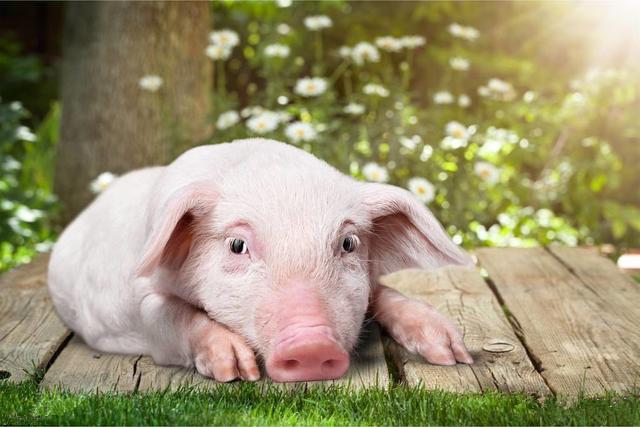 中国生猪产业扶贫项目签约 每年可新增2200万头产能