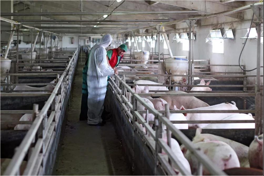 非瘟背景下的拜耳猪场大肥猪管理方案