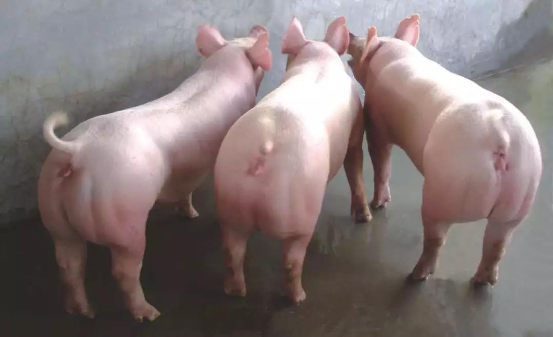母猪管理:如何提高后备母猪的发情配种率