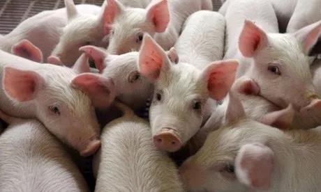 你真的会养保育猪吗?保育猪的饲养要点,快来围观!!