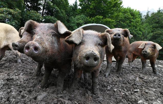 猪栏既种致富菌,也生态养猪