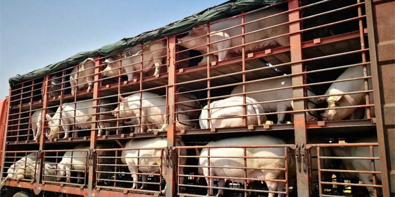 香港猪肉一斤近百元,拟输入韩国活猪,希望肉价下降三分之一