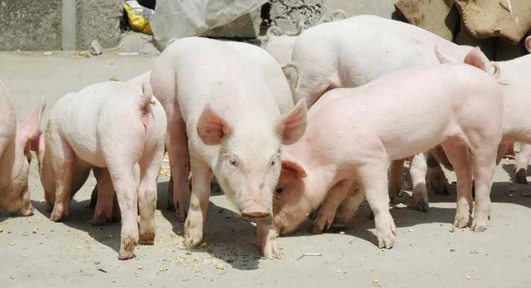 """""""吉肉供浙""""!浙江与吉林签订5万头猪年采购协议,保障市场冷鲜肉供应!"""