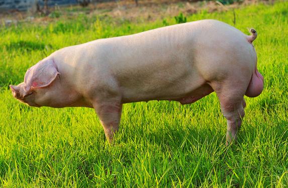 主题策划:影响种公猪种用年限的主要因素
