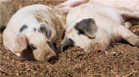 农业农村部明确无非洲猪瘟疫区标准:3年内家猪未感染