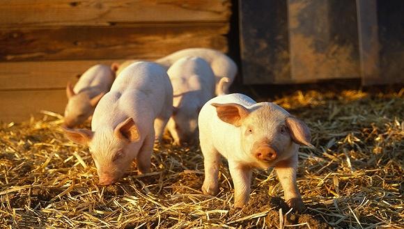 生猪产业发展指数来了!界面商学院联合中国农科院编制