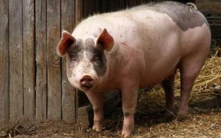 1月1日全国生猪价格土杂猪报价表,本月土杂猪价格较上月有回升