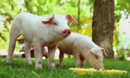 春节前的猪价走势如何?影响猪价这几点你得清楚