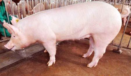 黑龙江:去年生猪生产止跌回升任务目标在第三季度末提前完成