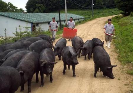 教授猪农:猪瘟肆虐致十几年心血毁于一旦,资金拮据复产难