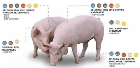 发挥仔猪遗传潜力,抗氧化能力和免疫力是关键