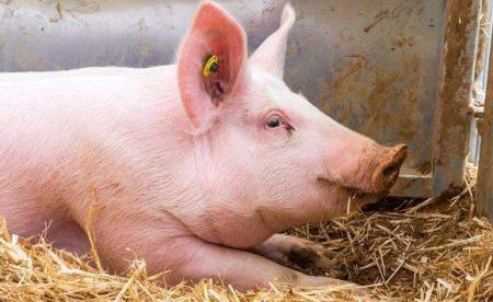 养猪企业全力补栏增产,除严格消毒和精心喂养外,还有这些不能少