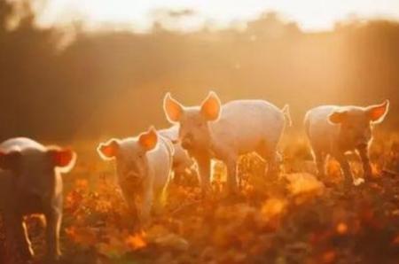 2020年,可能是中国猪业最好的一年!