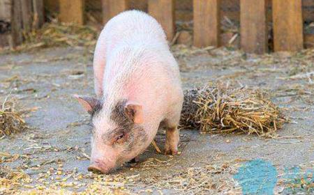 警惕!冬季将很可能是非洲猪瘟的高发期
