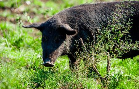 七千年前古代先民是如何养猪的?我们一起去看看!