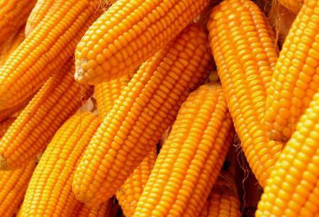 养殖业短期难以撼动,玉米价格或再度上行
